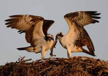Osprey Feeding Minto 2013 16x24